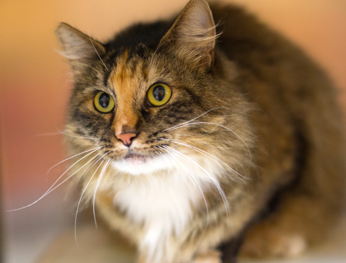 Click for more information about Duchess Fluff