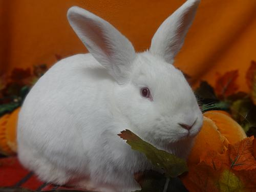 Click for more information about Cottontail